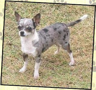 Merles Chihuahuamama Chihuahuas For Sale Arizona Arizona Breeder